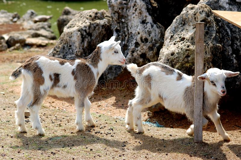 Download Two Baby Goats stock image. Image of little, spring, animals - 13270229