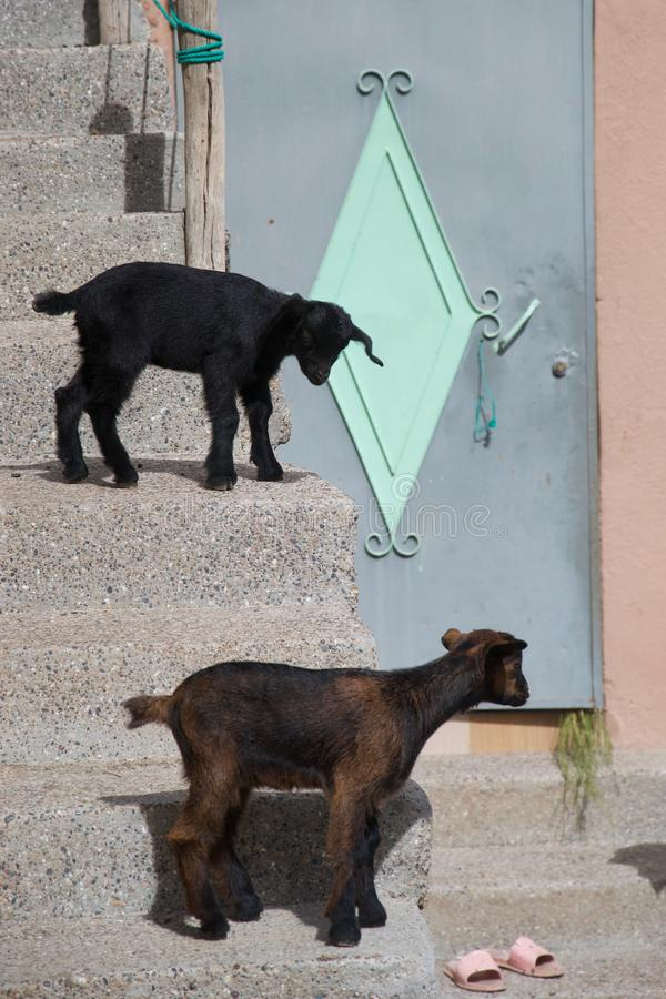 Small urban goats wait outside a door. Two baby goats wait on a staircase outside a pastel coloured door with flip flops on the threshold royalty free stock photography