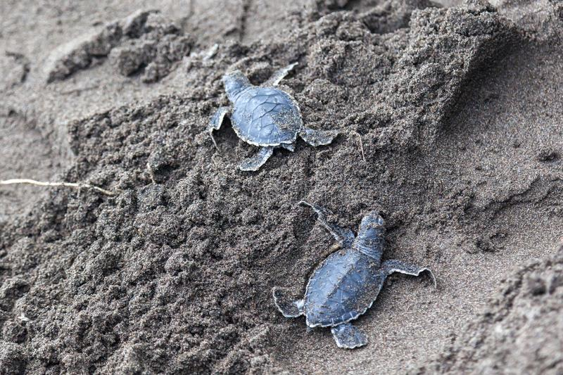 Two Baby green turtles on the beach in Costa Rica royalty free stock image