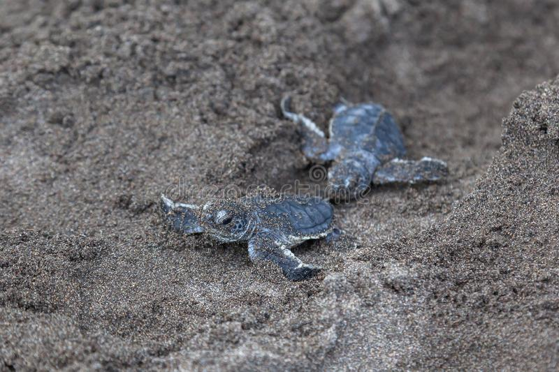 Two Baby green turtles on the beach in Costa Rica royalty free stock photo