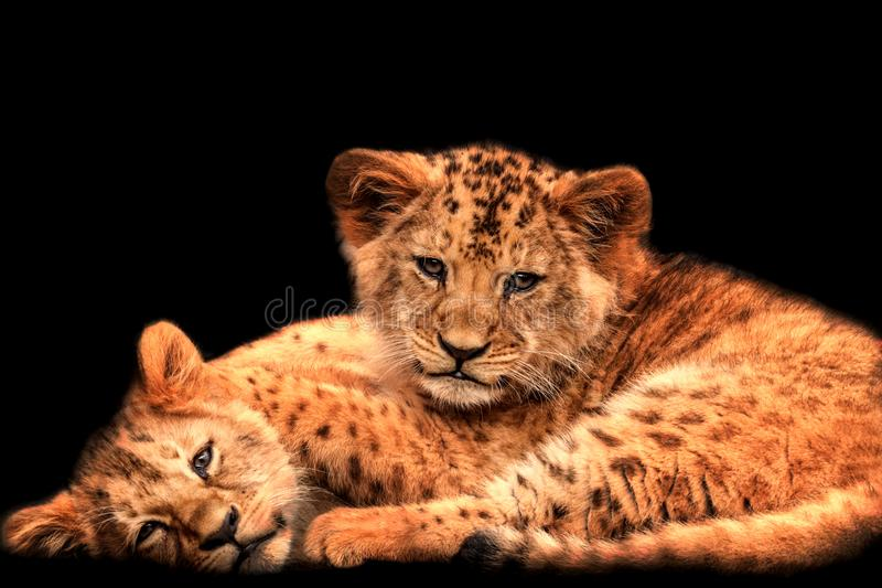 Two baby lions with black background stock photos