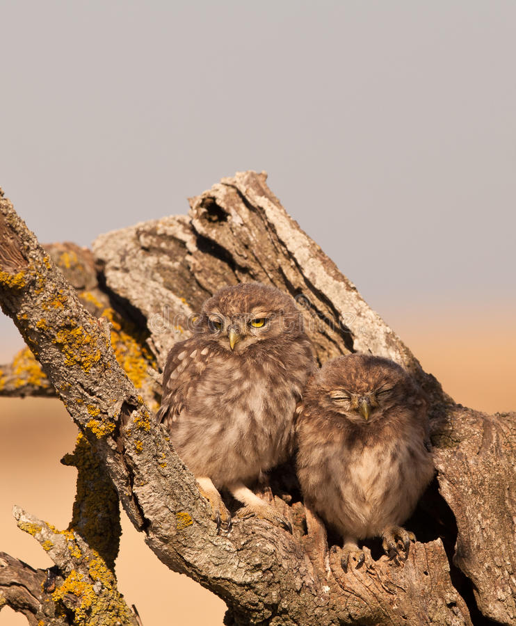 Two baby Little Owls stock image