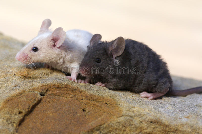 Two baby mice on rock stock photo