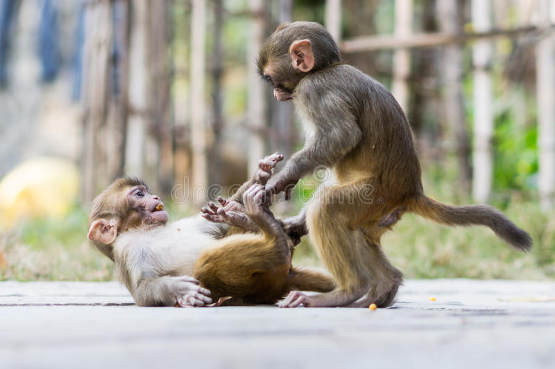 Download Two baby monkeys stock image. Image of juvenile, playing - 59974007