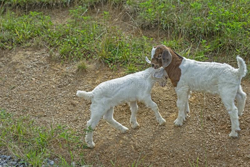 Two baby white goats are playing together. royalty free stock image