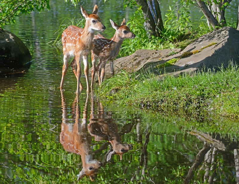 Two baby white tailed deer and water reflections. royalty free stock images