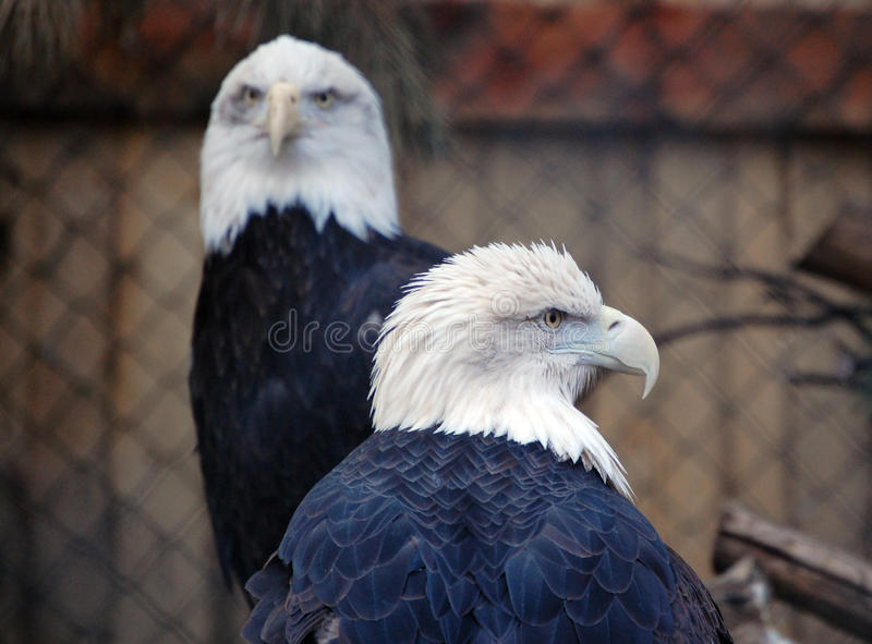 Two bald eagles royalty free stock image