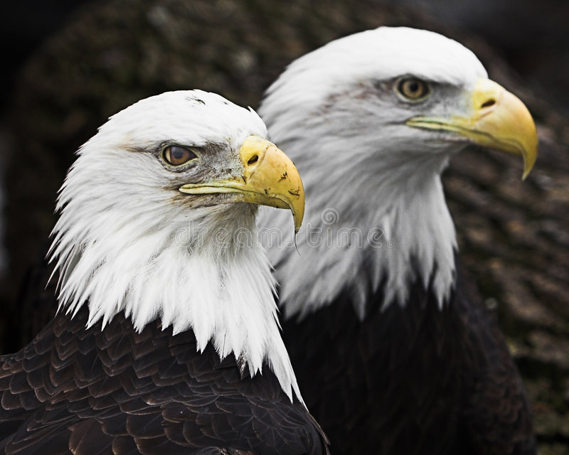 Two Bald Eagles. Close up portrait of set of two Bald Eagles