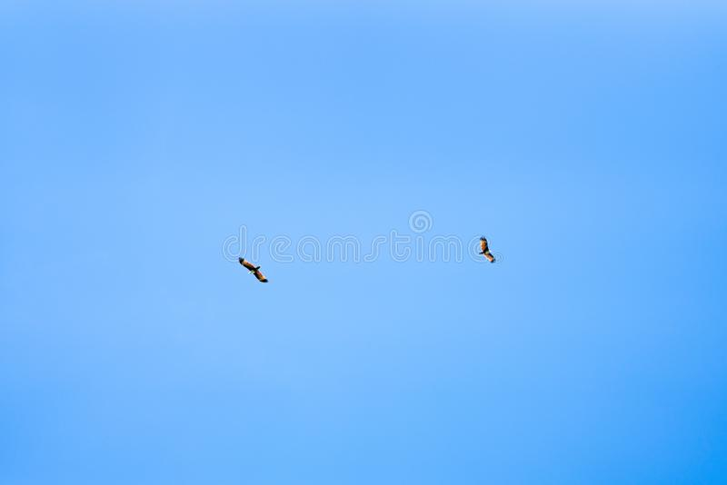 Two bald eagles flying above clear sky on sunny day. Nature or animal wildlife concept royalty free stock photo