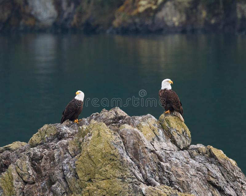 Two Bald Eagles royalty free stock photo