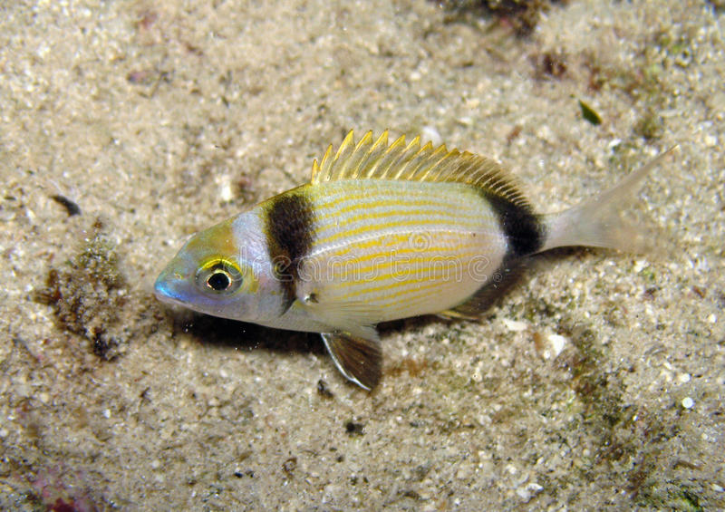 Download Two-banded bream stock photo. Image of animal, bream - 12625174