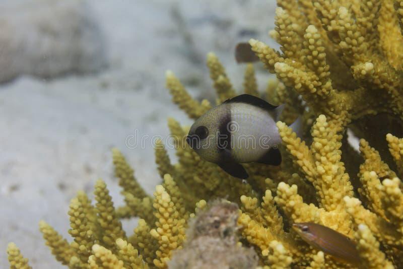 Two-bar damsel (Dascyllus carneus). At Lipe island in Thailand stock image