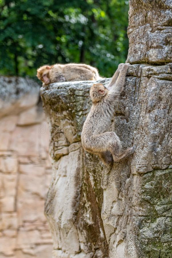 Two Barbary Monkeys on a mountain stock image