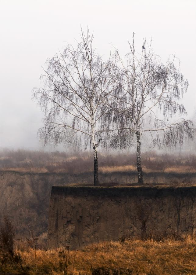 Two bare birch trees on a weathered gorge rim with yellow grass, a bird on a branch, misty late autumn morning royalty free stock image