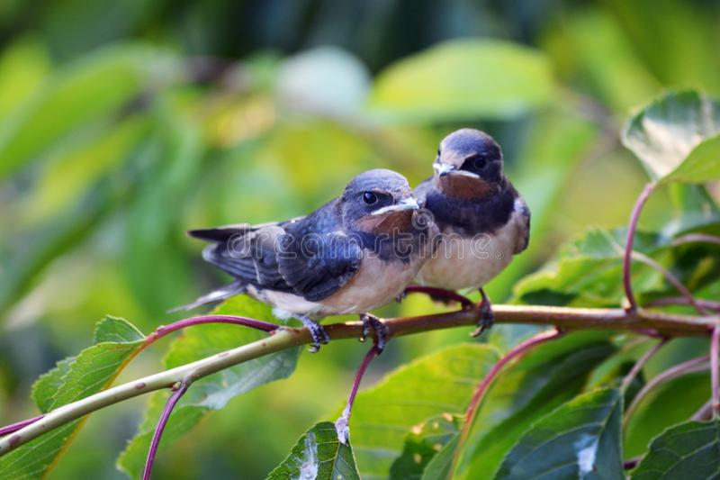 Two barn swallows on the brench royalty free stock photos