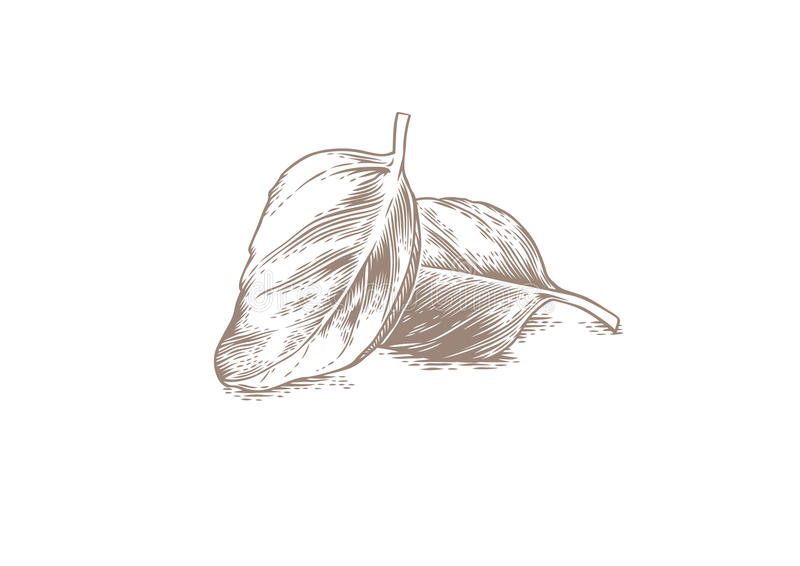Two basil leaves. Drawing of two basil leaves on the white vector illustration