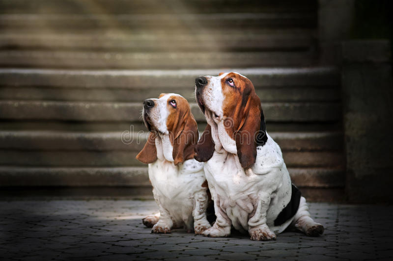Download Two Basset Hound Sitting And Looks Up At Light Stock Image - Image: 26743941
