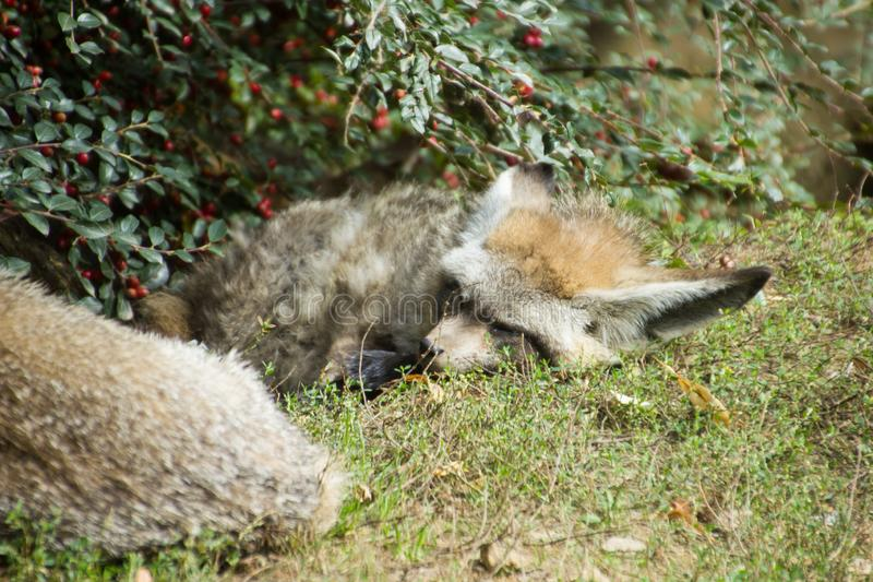 Two bat-eared foxes sleeping under the berry bush royalty free stock image