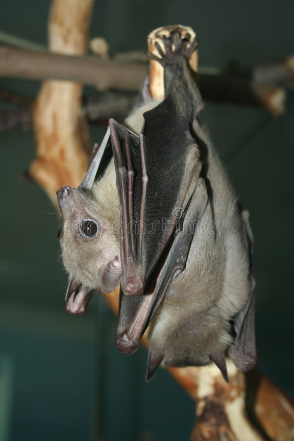Two bat's royalty free stock photo