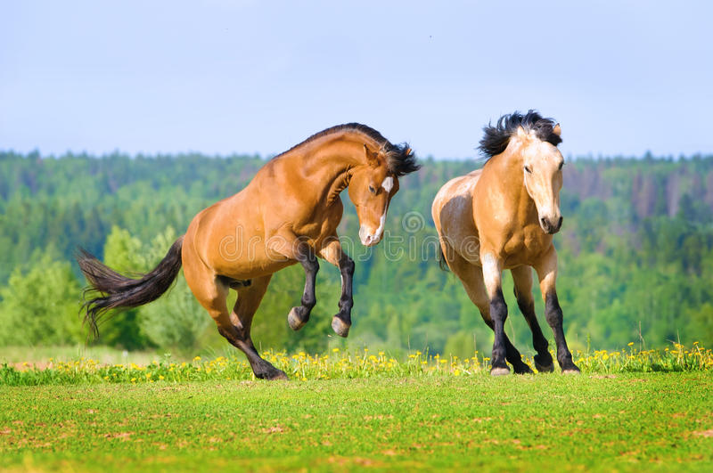 Download Two Bay Horses Playing On The Meadow Stock Image - Image: 24884943