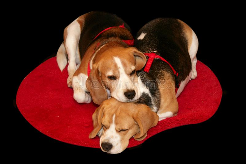Two Beagle dogs stock images