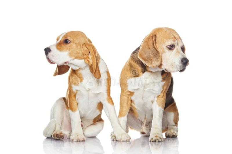 Two beagle dogs isolated on white background. stock image