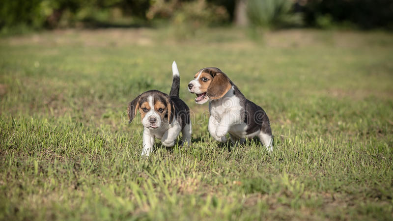 Two Beagle puppies play stock photography