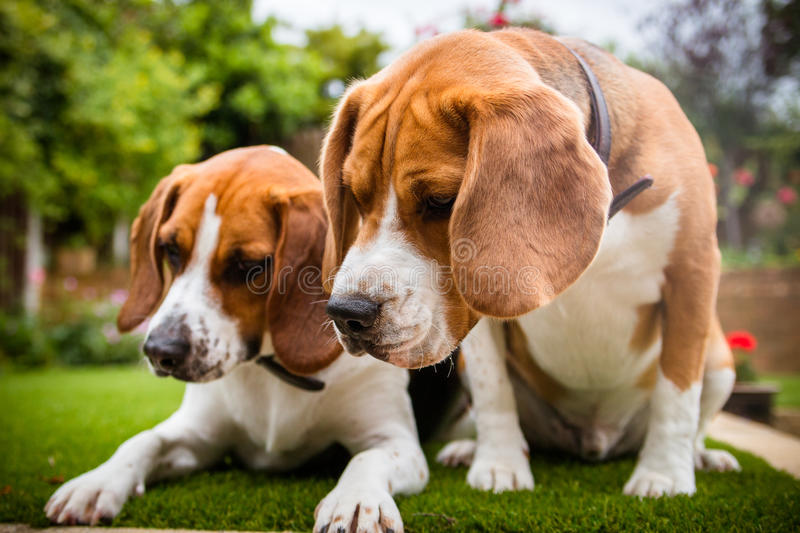 two beagles having fun playing in the garden royalty free stock photo
