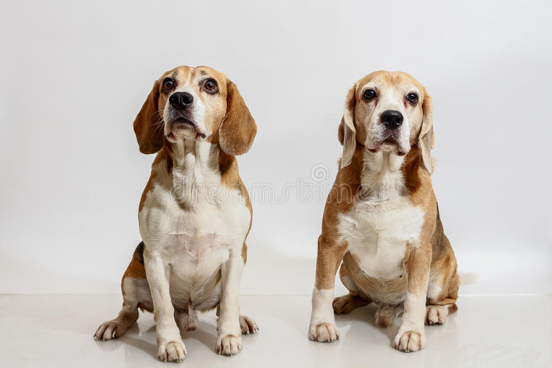 Two Beagles stock photography