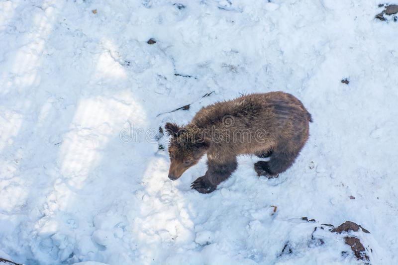 Two bear cubs playing in the snow, tall trees and gay cubs tumbling. stock photo