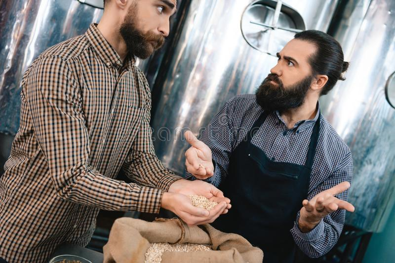 Two bearded men check quality of wheat in brewery. Quality control of barley for beer production. Brewing. Brewery. Beer crafting royalty free stock photo