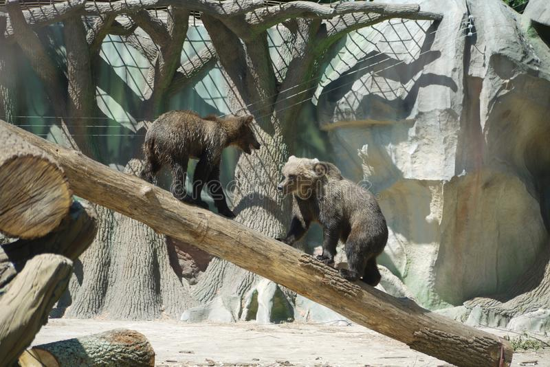 Two bears on the deck in the zoo. One goes up and the other goes to meet him with a roar. For your design stock photo