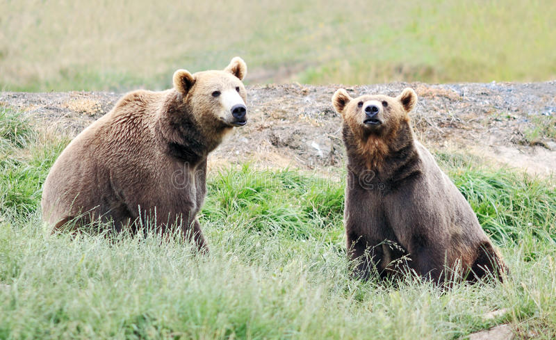 Two Bears in Field stock images