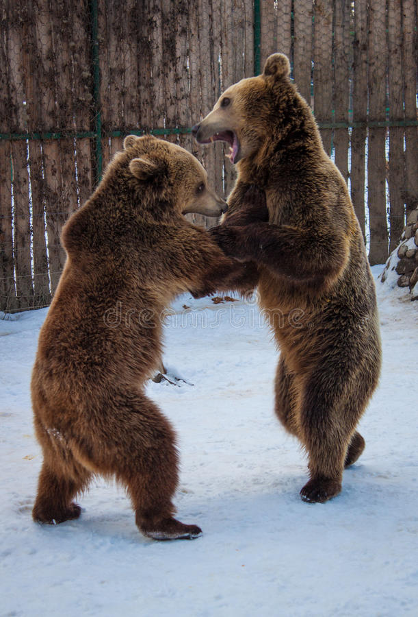 Two bears playing. On the snow in my local ZOO stock images