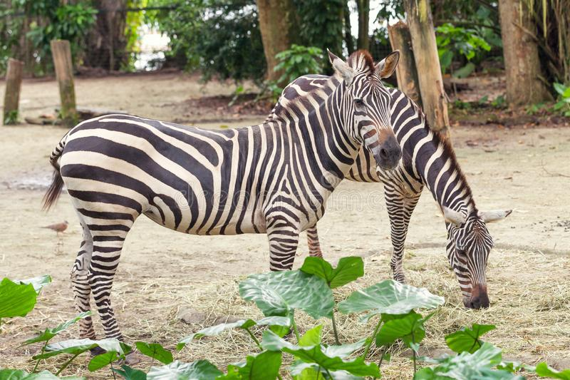 Two beautiful african striped zebra in the pasture, wildlife stock photography