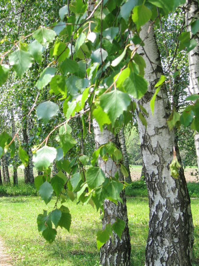 Natural landscape. White birch in a summer birch grove royalty free stock image
