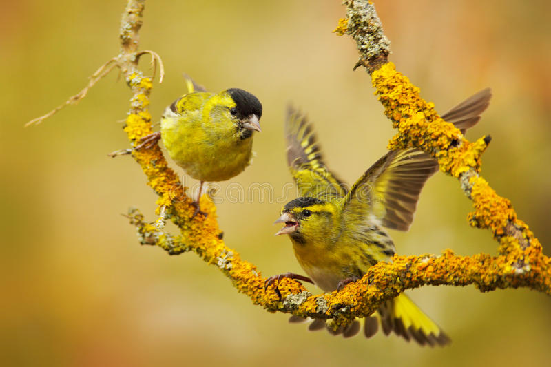 Two beautiful bird on the branch. Eurasian Siskin, Carduelis spinus, sitting on the branch with yellow lichen, clear background. royalty free stock image