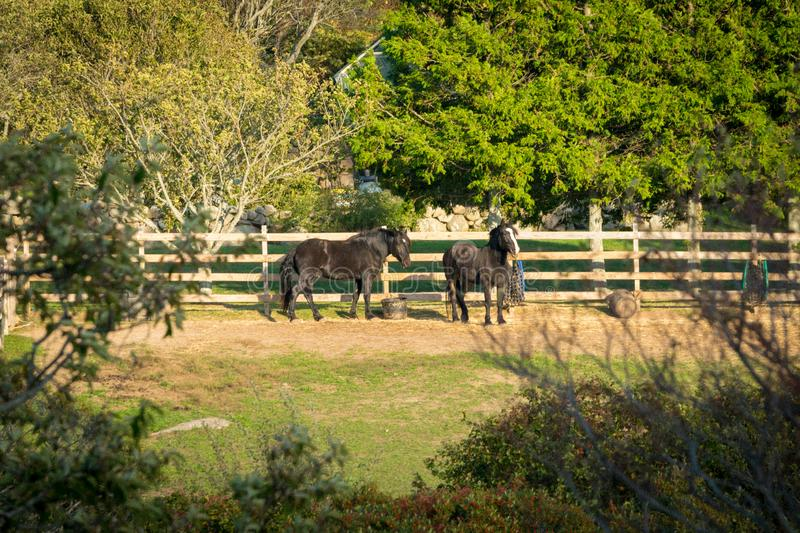 Two beautiful black horses, relaxing in their fenced-in corral, among trees, bushes, and plenty of grass, on a warm stock photos