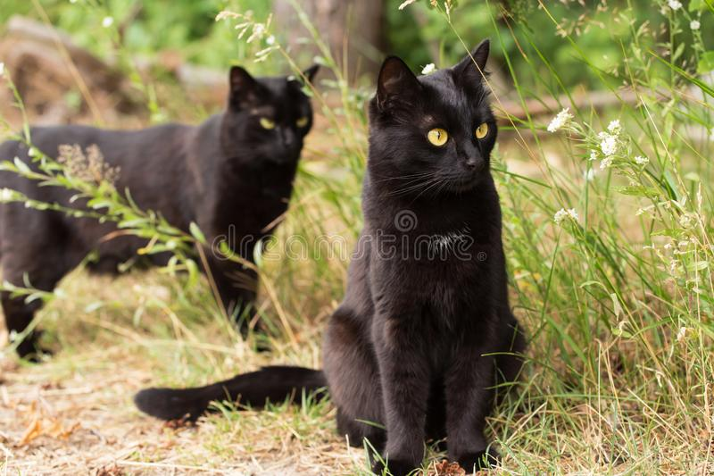 Two Beautiful bombay black cats in green grass in nature outdoors. In summer stock images