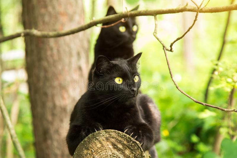 Two beautiful bombay black cats sits on a log in forest. Outdoor, nature. Two beautiful bombay black cats sits on a log in spring, summer forest in sunlight stock photo