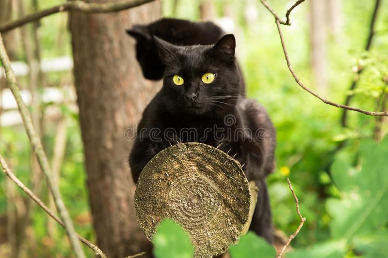 Two beautiful bombay black cats sits on a log in spring, summer green forest. Outdoor, nature stock image
