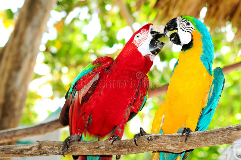 Two beautiful carribean maccaws on exotic beach stock photos