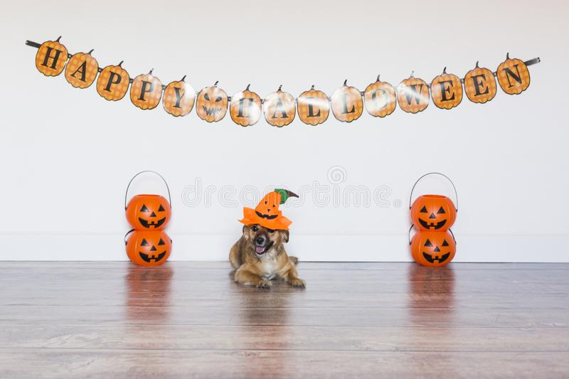Two beautiful cute small dogs wearing funny halloween costumes. Indoors. cute little dog siting on the wood floor with a costume. Cute little dog siting on the royalty free stock photo