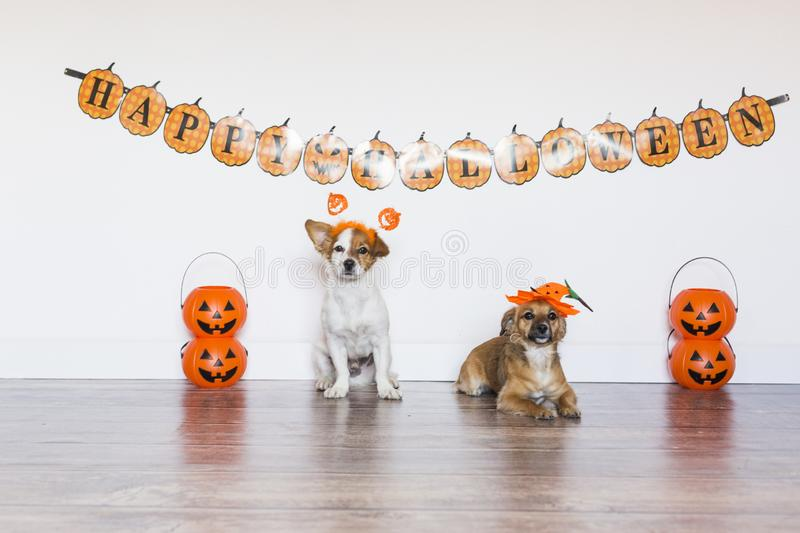 Two beautiful cute small dogs wearing funny halloween costumes. Indoors. Haunt, humor, joke, animal, monster, pet, terror, autumn, thanksgiving, bed, horror royalty free stock photography
