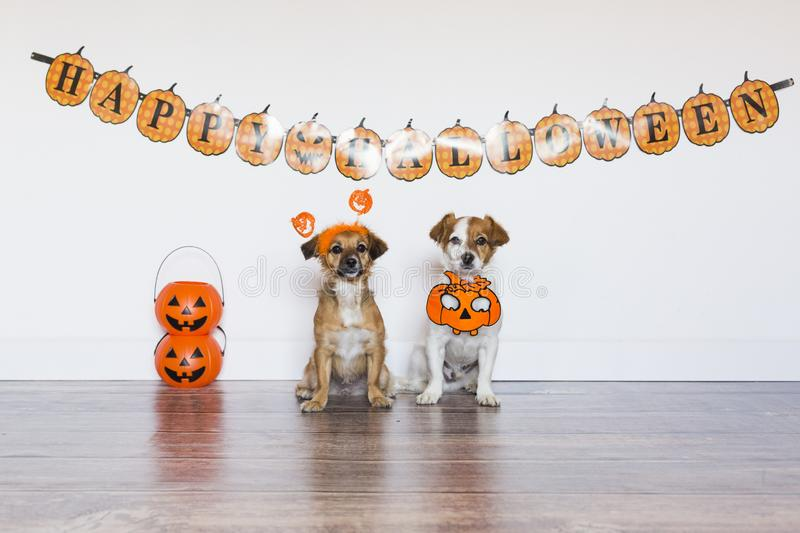 Two beautiful cute small dogs wearing funny halloween costumes. Indoors. Haunt, humor, joke, animal, monster, pet, terror, autumn, thanksgiving, bed, horror royalty free stock image