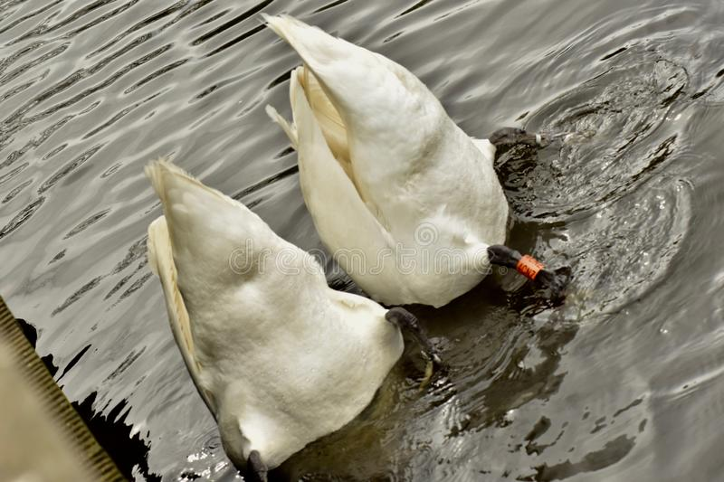 Two beautiful diving white swans royalty free stock photography