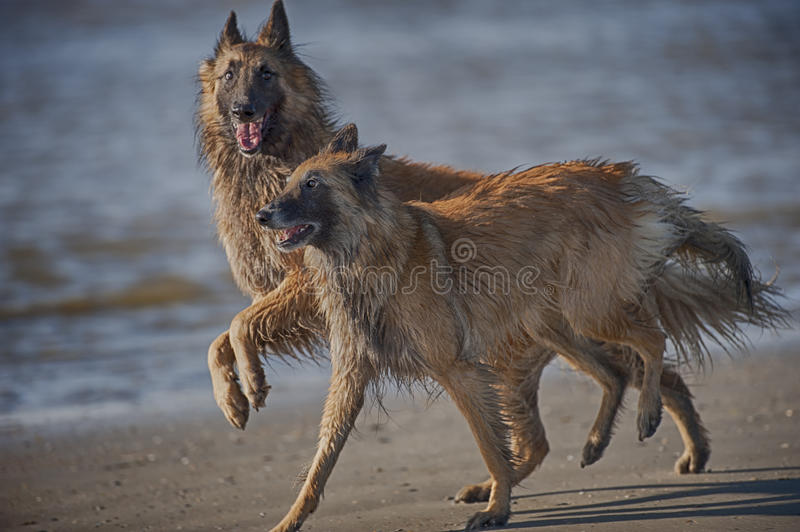Two beautiful dogs are playing on a beach royalty free stock image