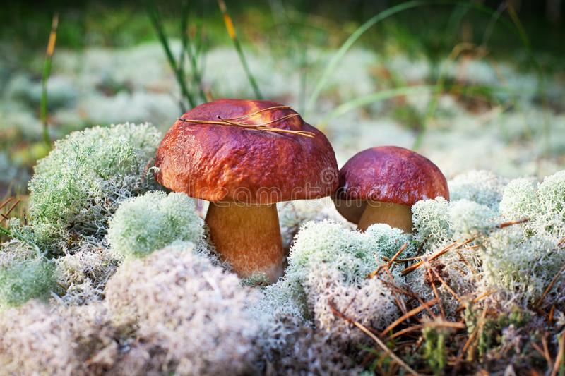 Two beautiful edible mushrooms on green moss background grow in pine forest close up, boletus edulis, brown cap boletus, porcini royalty free stock images