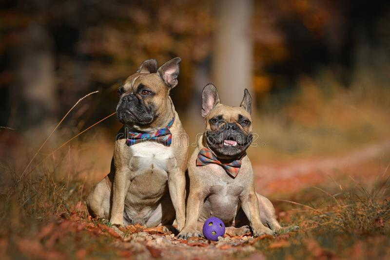 Two fawn French Bulldog dogs with bowties sitting in autumn leaf forest royalty free stock image