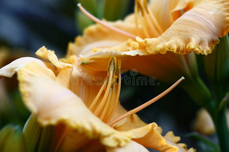 Orange day lilies in approach. Two beautiful flowers of a hemerocallis with petals of orange color nearby with each other under different corners stock photos